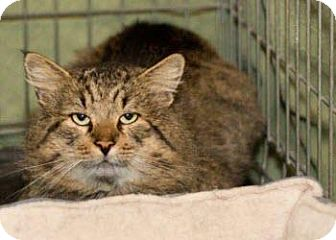 Maine Coon Cat for adoption in San Antonio, Texas - Wicket