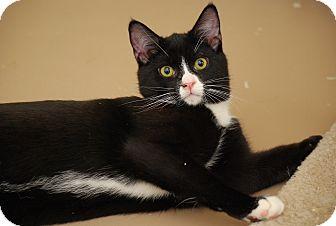 Domestic Shorthair Kitten for adoption in Trevose, Pennsylvania - Molly