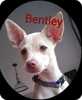 Chihuahua/Terrier (Unknown Type, Small) Mix Puppy for adoption in Kingston, Washington - Bentley