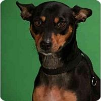 Adopt A Pet :: Missy Blue - Nashville, TN