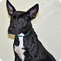 Adopt A Pet :: Pogo - Port Washington, NY