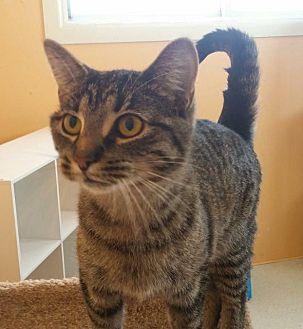 Domestic Shorthair Cat for adoption in Port Clinton, Ohio - Bay