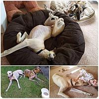 Adopt A Pet :: Skinny - Seattle, WA