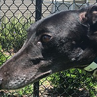 Greyhound Dog for adoption in Longwood, Florida - PJ Ultra Lord