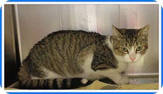 Domestic Shorthair Cat for adoption in Marietta, Georgia - SPENCER
