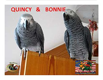African Grey for adoption in Vancouver, Washington - 1 or 2 African Grey's