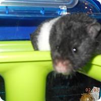 Adopt A Pet :: diva - haslet, TX
