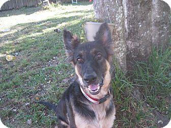 German Shepherd Dog Dog for adoption in Green Cove Springs, Florida - Ziggy