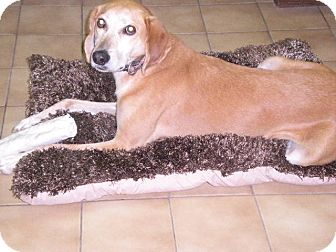 """Greyhound Mix Dog for adoption in New Castle, Pennsylvania - """" Hunter """""""