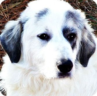 Great Pyrenees Mix Puppy for adoption in Wakefield, Rhode Island - TUCKER Stunning Pyre Baby