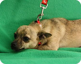Dachshund/Chihuahua Mix Puppy for adoption in Broomfield, Colorado - DoSiDo