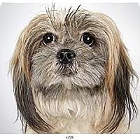 Adopt A Pet :: Lizzy - New York, NY