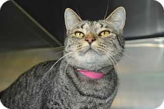 Domestic Shorthair Cat for adoption in Monroe, Michigan - Katniss