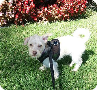 Terrier (Unknown Type, Medium) Mix Puppy for adoption in Encino, California - Billy Bob