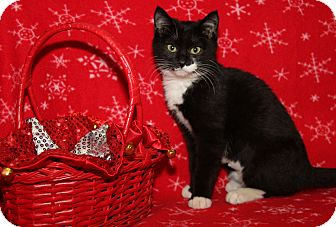 Domestic Shorthair Cat for adoption in Marietta, Ohio - Era (Spayed)-Updated Photos