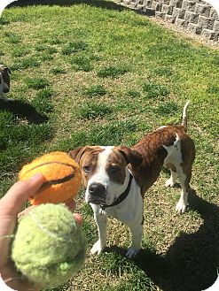 American Pit Bull Terrier Mix Dog for adoption in Lincoln, California - Papa Bear