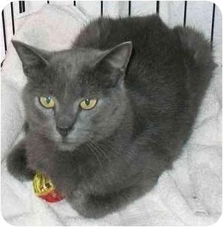 Domestic Shorthair Cat for adoption in Plainville, Massachusetts - Wanda