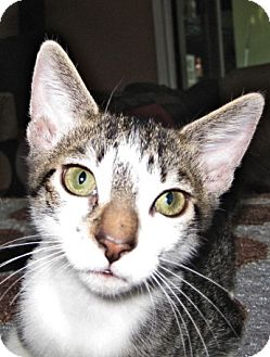 Domestic Shorthair Cat for adoption in Deerfield Beach, Florida - Monty & Cuda