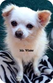 Chihuahua Mix Dog for adoption in San Diego, California - Ms Winter