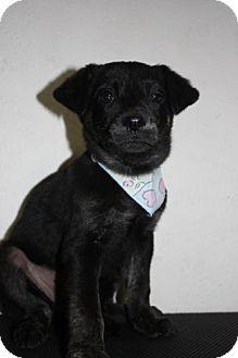 Plott Hound/Labrador Retriever Mix Puppy for adoption in Stilwell, Oklahoma - Lily