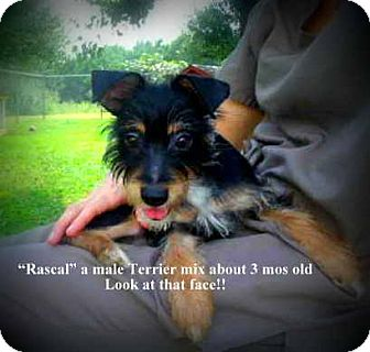 Terrier (Unknown Type, Small) Mix Puppy for adoption in Gadsden, Alabama - Rascal