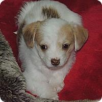 Adopt A Pet :: Brie - La Habra Heights, CA