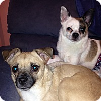 Chihuahua/Pomeranian Mix Dog for adoption in Sandown, New Hampshire - Oliver (NH) & Annie
