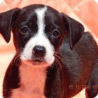 Adopt A Pet :: Gidget (3 lb) - SUSSEX, NJ