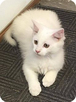 Domestic Longhair Kitten for adoption in Covington, Virginia - Opal
