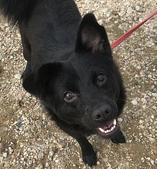 Schipperke Mix Dog for adoption in Jackson, Mississippi - Ava