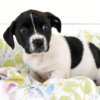 Labrador Retriever/American Bulldog Mix Puppy for adoption in Arlington, Virginia - Ross