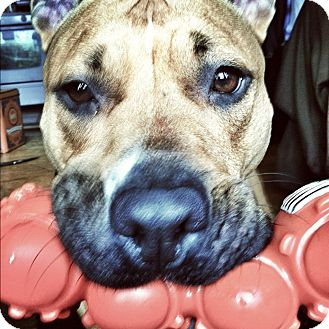 Labrador Retriever/American Pit Bull Terrier Mix Dog for adoption in Medford, Massachusetts - Deezy