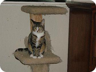 Domestic Shorthair Cat for adoption in Walnut Creek, California - Tildy