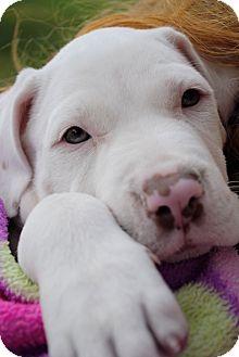 American Bulldog Mix Puppy for adoption in Orlando, Florida - Clark