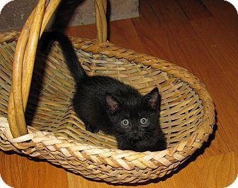 American Shorthair Kitten for adoption in Harrisburg, North Carolina - Phoenix