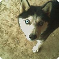Adopt A Pet :: Raksha - Golden, CO