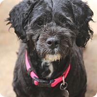 Adopt A Pet :: Chyna - MEET ME - Norwalk, CT