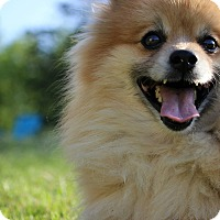 Adopt A Pet :: Percival - Cumberland, MD