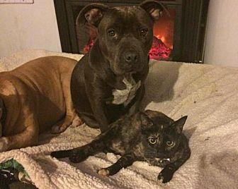 Domestic Shorthair Cat for adoption in Corona, California - Kiara (LOVES dogs!)