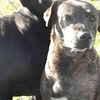 Plott Hound Dog for adoption in Rogers, Arkansas - GEORGIA
