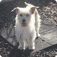 Adopt A Pet :: Star - Henderson, NV