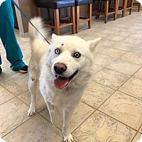 Adopt A Pet :: Sinatra - Roswell, GA