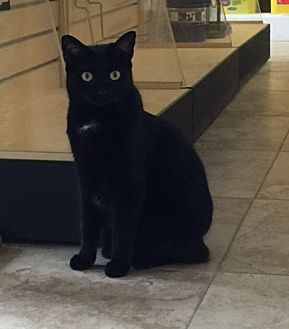 Domestic Shorthair Cat for adoption in West Palm Beach, Florida - Sheba