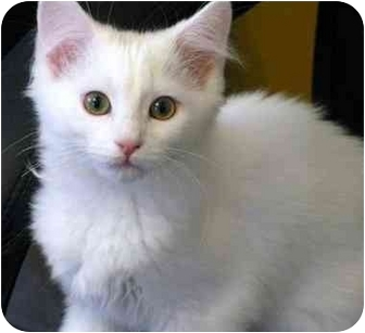 Domestic Mediumhair Kitten for adoption in Markham, Ontario - Candy Cane