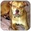 Photo 1 - Labrador Retriever Mix Dog for adoption in Forest Hills, New York - PAL