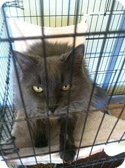 Maine Coon Cat for adoption in Huntington Station, New York - RAOUL