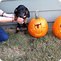 Adopt A Pet :: Gus - Greenville, SC