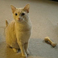 Domestic Shorthair Cat for adoption in Columbia, Illinois - Penny