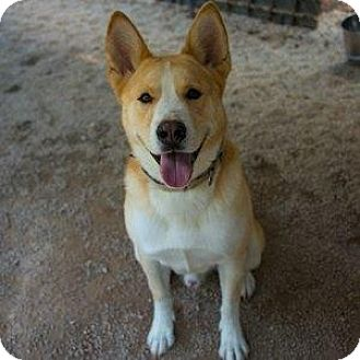 Akita/Mixed Breed (Large) Mix Dog for adoption in Decatur, Georgia - Boulder