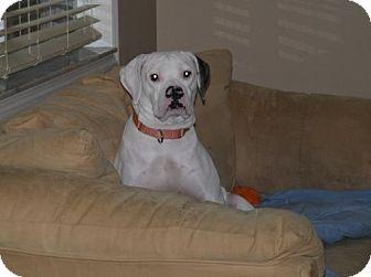 American Bulldog Dog for adoption in Bradenton, Florida - Bessie